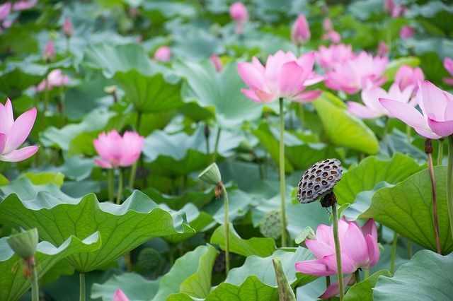 Lotus root amazing health benefits and uses macrosano the lotus root as its name suggests is the root of the lotus flower that beautiful and delicate aquatic flower that decorates many of our ponds mightylinksfo